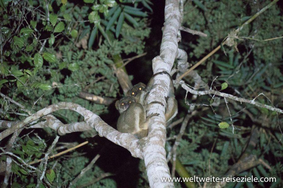 Zwei nachtaktive Lemuren