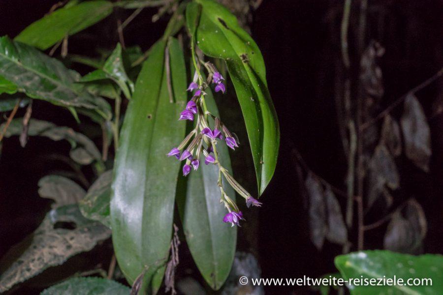 Lila blühende Orchidee, Madagaskar, Analamazaotra