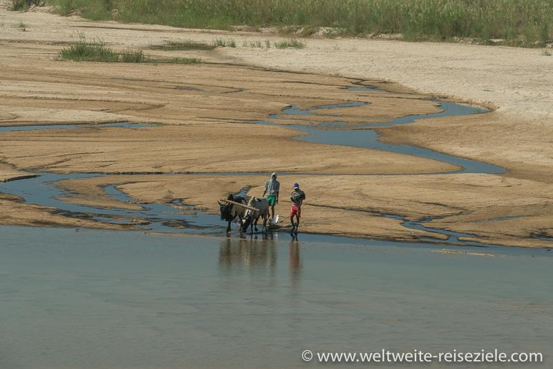 Zebus beim Trinken auf einer Sandbank im Fluss Sakena, Madagaskar