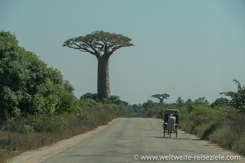 Grosser Baobab an der Strasse nach Morondava