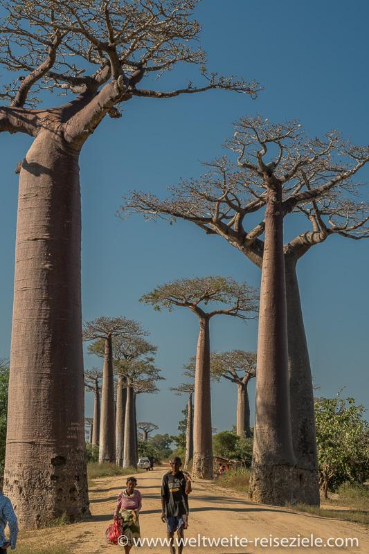 Riesige Baobabs und zwei Einheimische auf der Baobab Allee