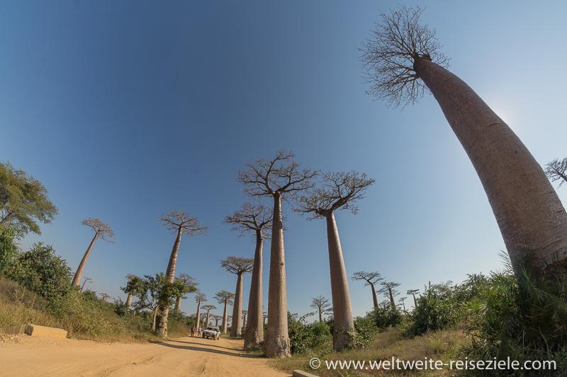 Baobabs an der Baobab Allee von Morondava