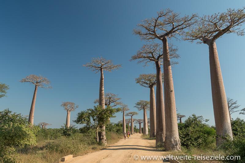 Die Baobab Allee am Nachmittag, Madagaskar