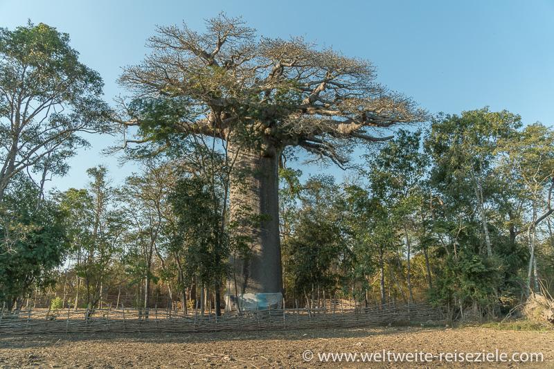 Heiliger Baobab in der Nähe des Hotels, Relais du Kirindy