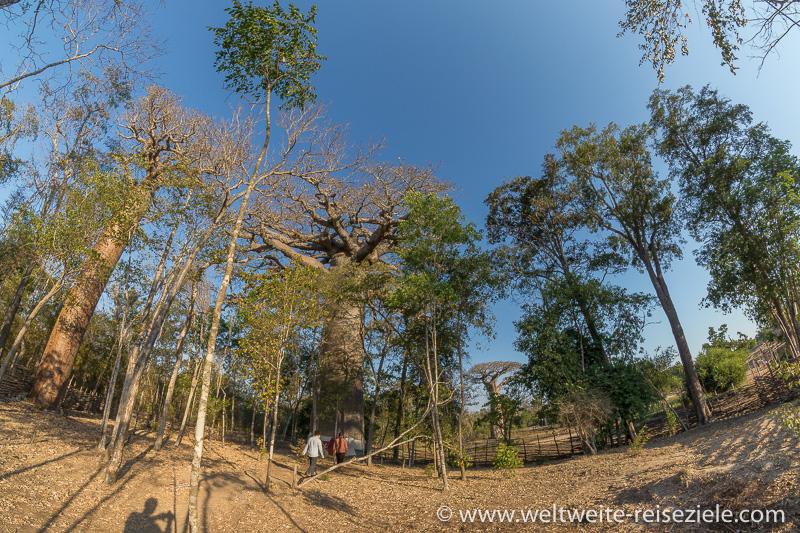 Riesiger heiliger Baobab, Nähe Hotels, Relais du Kirindy