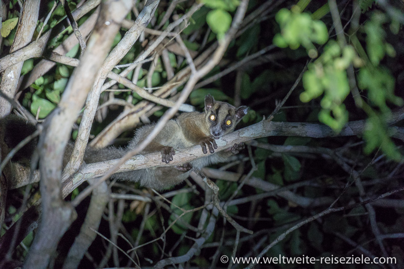 Nachtaktiver Lemur, Nachtwanderung, Reservat Kirindy Forest