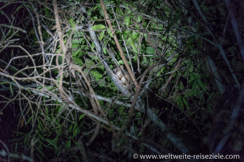 Nachtaktiver Maus Lemur, Nachtspaziergang, Kirindy Forest