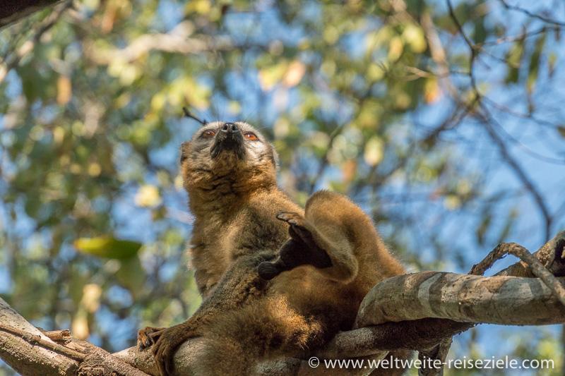Brauner Maki, Lemur (Eulemur fulvus) im Kirindy Forest