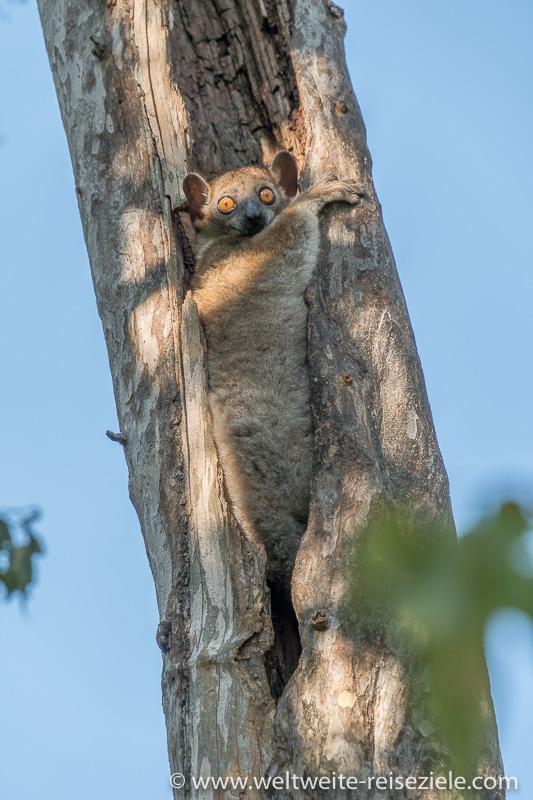 Madagaskar, Kirindy Forest, Randrianasolo Wieselmaki in seinem Baumloch