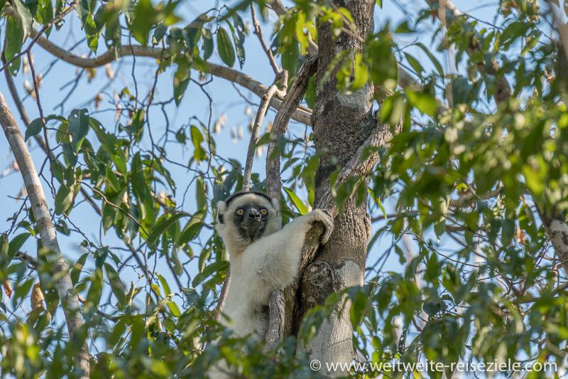 Lemur, Larvensifaka, Kirindy Forest, Madagaskar