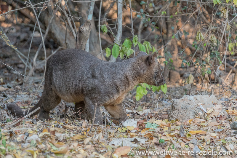Fossa (Cryptoprocta ferox) Katze aus Madagaskar