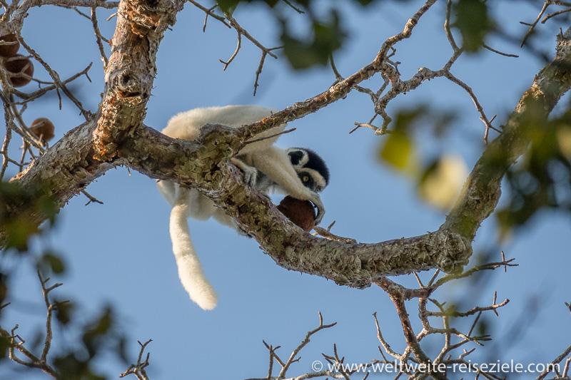 Larvensifakas (Propithecus verreauxi) im Kirindy Forest