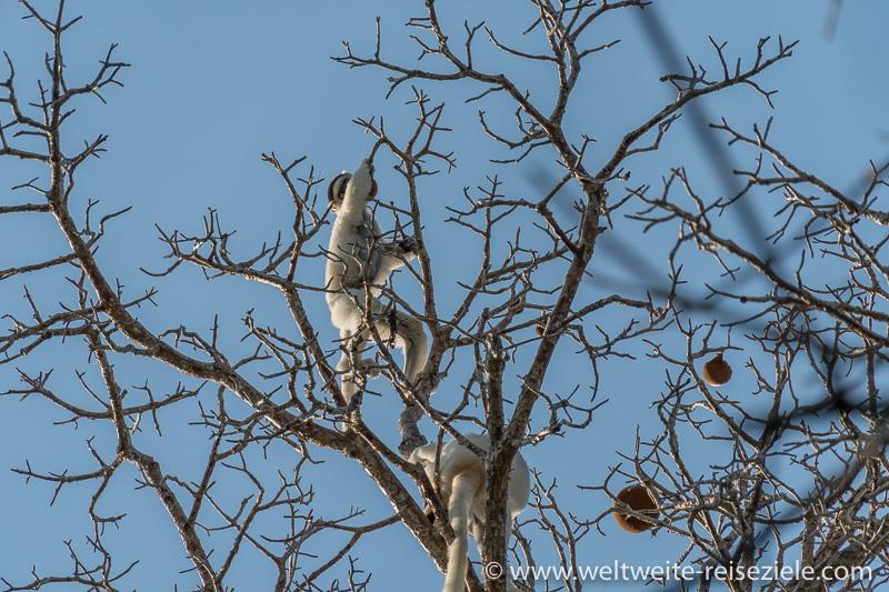 Weisser Larvensifaka frisst am Baobab, Brotfrüchte, Kirindy Forest, Madagaskar