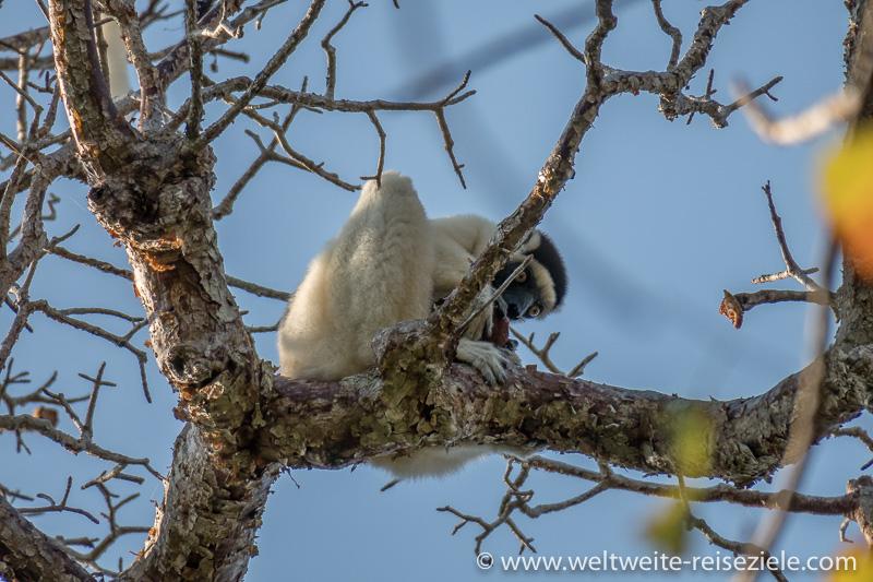 Weisser Lemur, Larvensifaka frisst Brotfrüchte, Kirindy Forest
