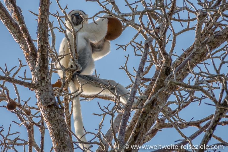 Larvensifaka (Propithecus verreauxi) frisst an einem Baobab Baum