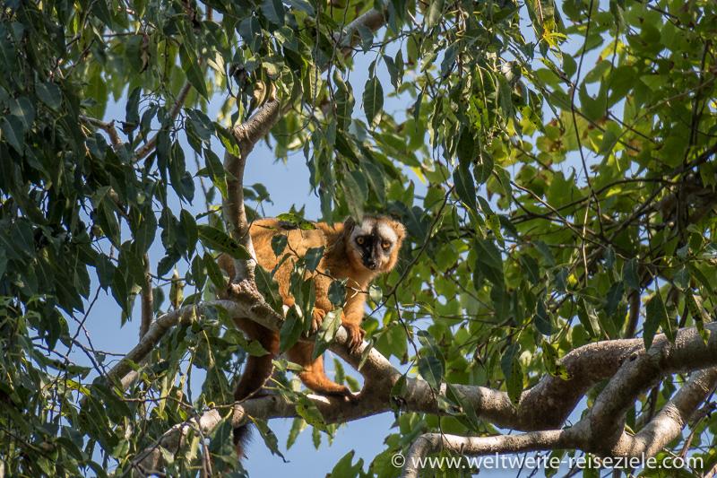 Brauner Lemur, Tsingy de Bemaraha