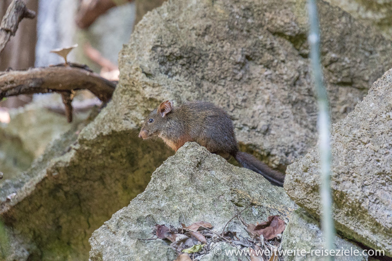 Nationalpark Tsingy de Bemaraha, Westliche Inselratte oder Rote Waldratte (Nesomys lambertoni)