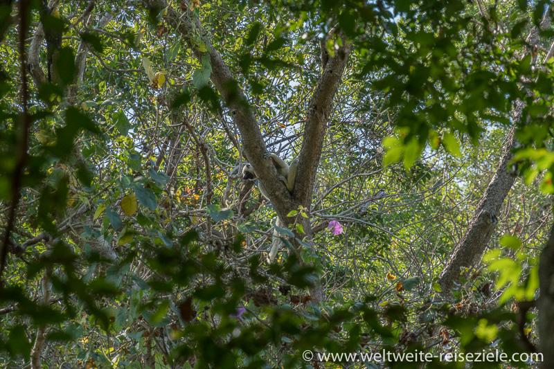 Weisser Lemure, Von-der-Decken-Sifaka (Propithecus deckenii), Tsingy de Bemaraha