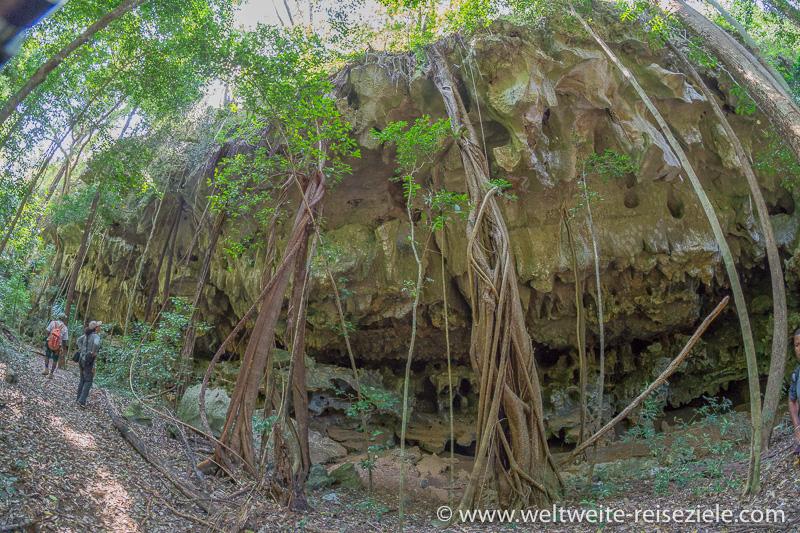 Dicke Wurzeln wachsen über die Felswände nach unten, Nationalpark Tsingy de Bemaraha