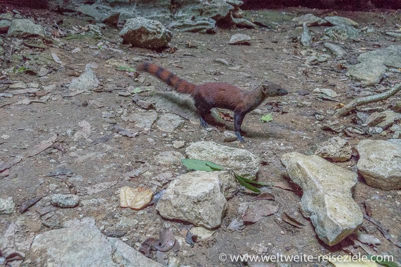Rot braune Manguste (Ringelschwanzmungo; Galidia elegans)