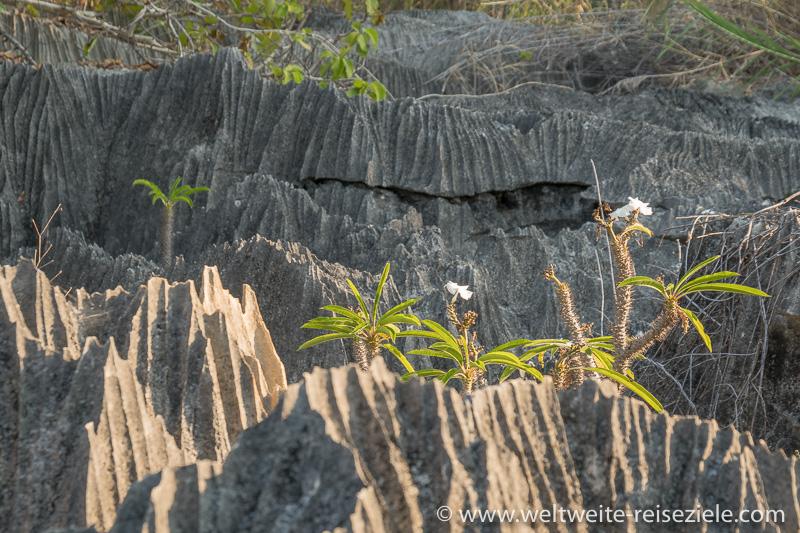 Weiss blühende Madagaskar-Palme (Pachypodium Lamerii) zwischen Kalksteinfelsen Petit Tsingy de Bemaraha