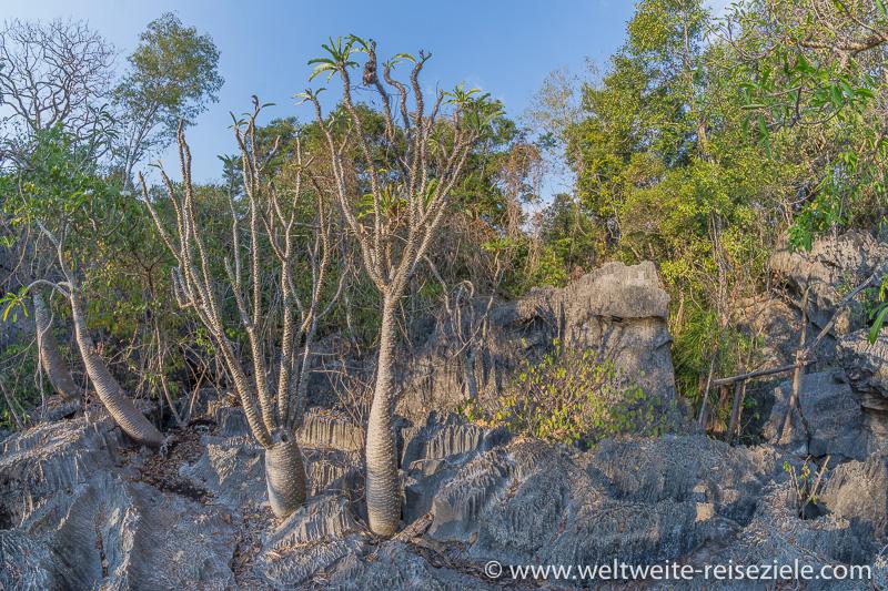 Madagaskar-Palme (Pachypodium Lamerii) auf den Kalksteinfelsen im Petit Tsingy de Bemaraha