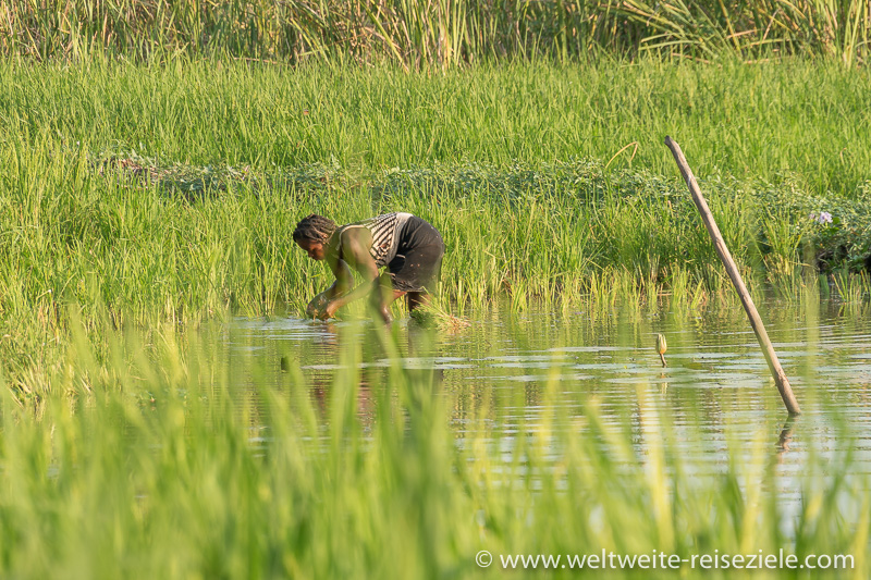 Einheimisch Frau pflanzt Reis, Lagune beim Petit Tsingy de Bemaraha