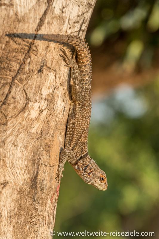 Madagaskar Dornschwanzleguan oder Stachelschwanzleguan (Oplurus cyclurus), Tsingy de Bemaraha