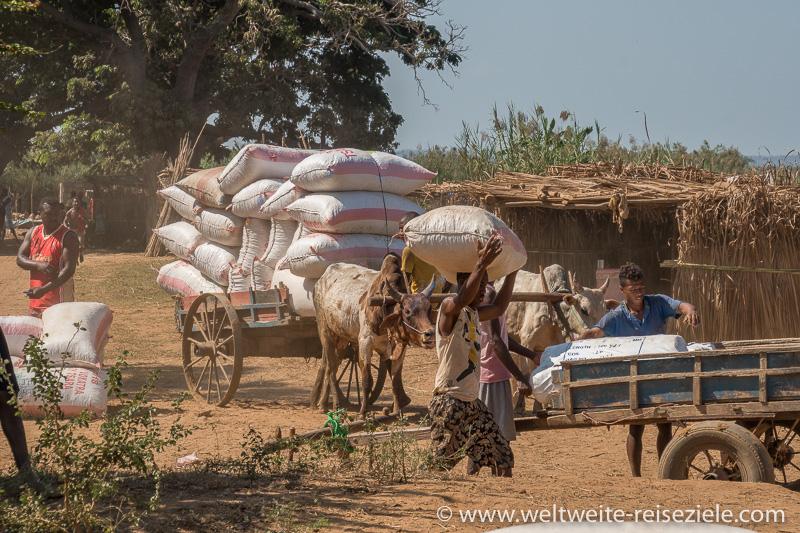 Mit Erdnusssäcken beladener Zebu Karren wird am Fluss Tsiribihina entladen