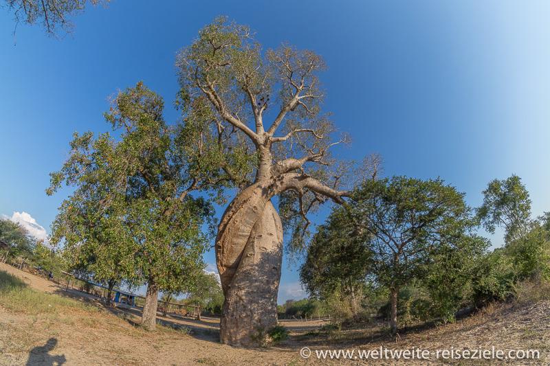 Baobab der Verliebten, nähe Morondava