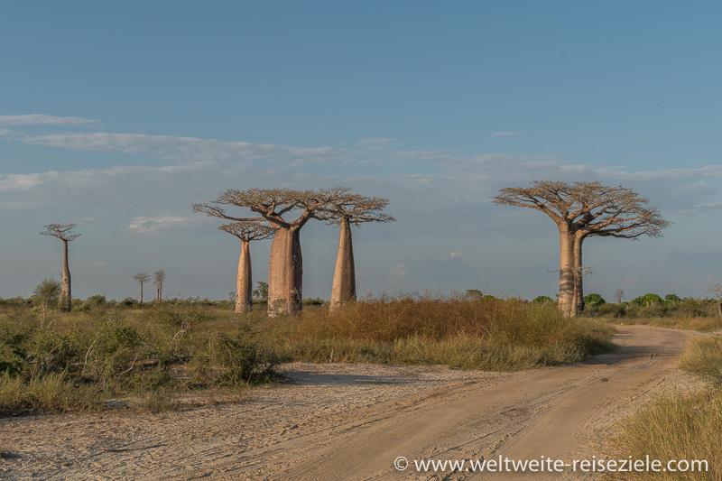Baobas in verschiedenen Grössen, Madagaskar, Westen