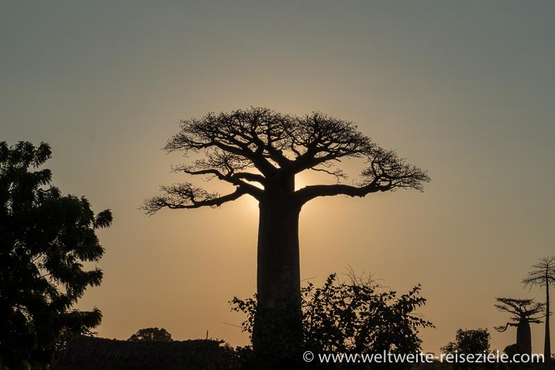 Tief stehende Sonne hinter Baobab, Morondava
