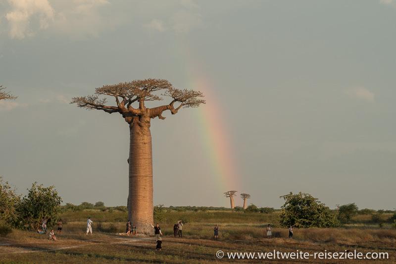 Grosser Baobab und dahinter Regenbogen, Baobab Allee