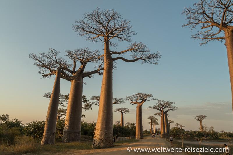 Baobab Allee von Morondava bei Sonnenutnergang, Blickin Richtung Norden