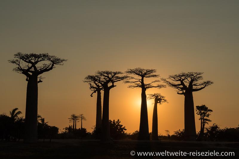 Sonnenuntergang hinter einer Gruppe von Baobabs, Baobab Allee von Morondava