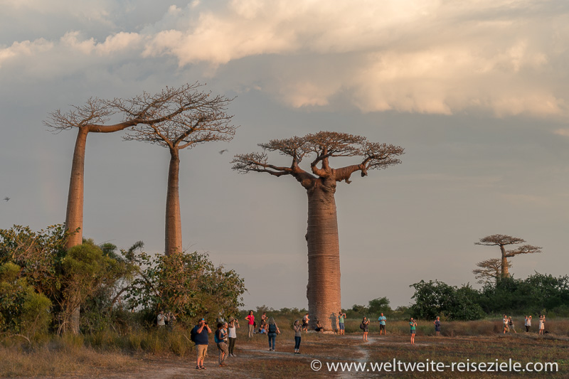 Touristen vor grossem Baobab, Baobab Allee von Morondava