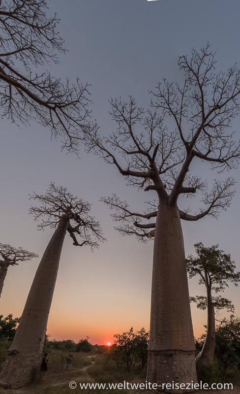Sonnenuntergang Baobab Allee von Morondava