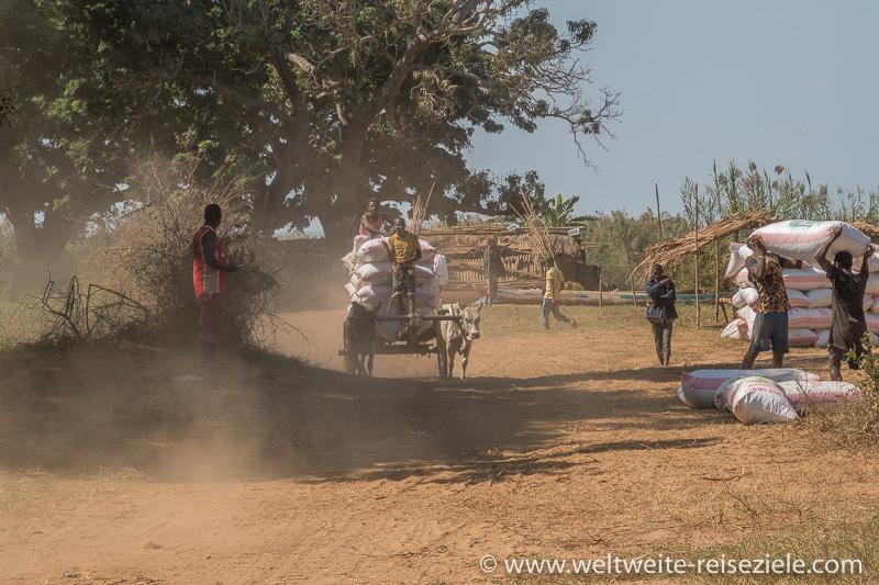 Zebu Karren beladen mit Säcken von Erdnüssen am Fluss Tsiribihina
