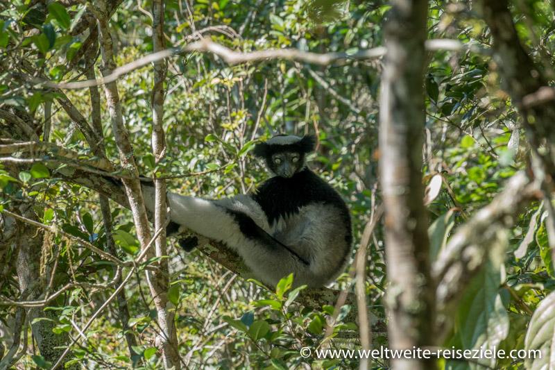 Indri Lemur Madagaskar