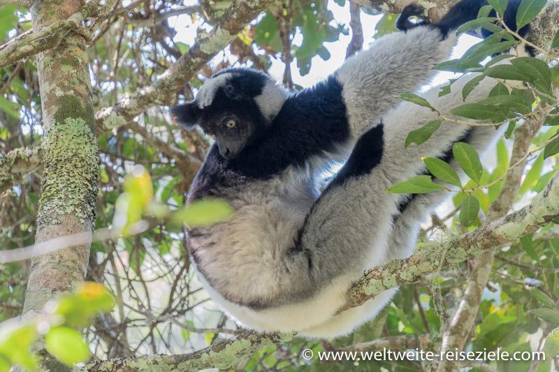 Indri im Nationalpark von Analamazaotra