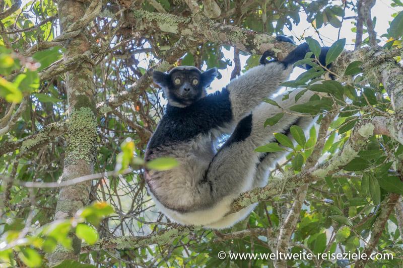 Indri Indri sitzt auf einem Ast