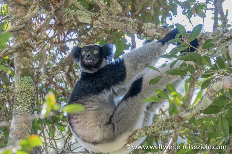 Analamazaotra, Lemur Indri auf einem Ast