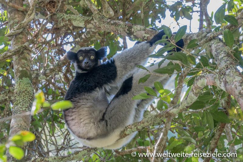 Indri sitzt auf einem Ast, Analamazaotra
