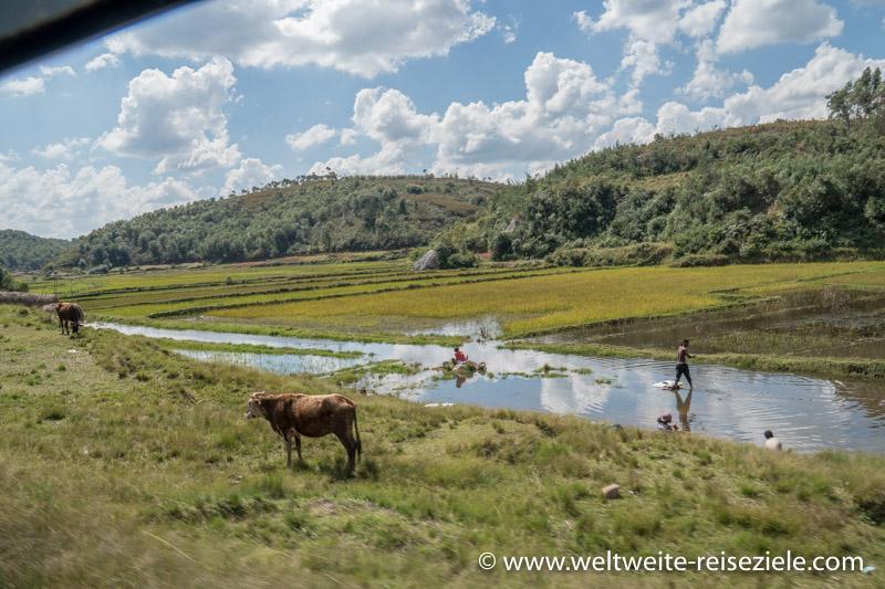 Kühe neben Reisfeld und arbeitenden Bauern, zwischen Andasibe und Antananarivo