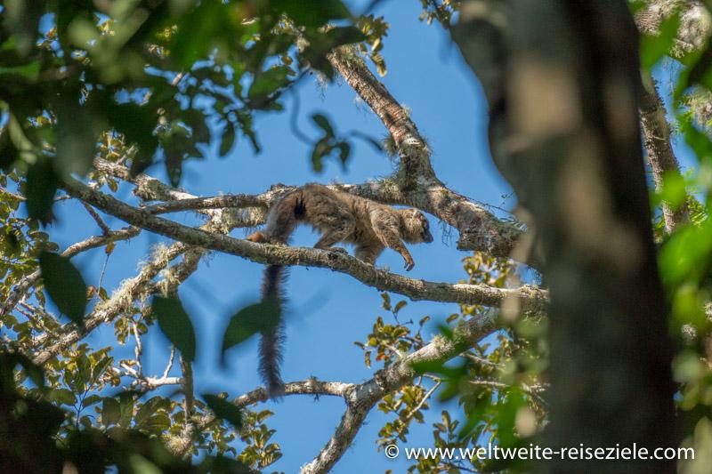 Brauner Maki (Eulemur fulvus)