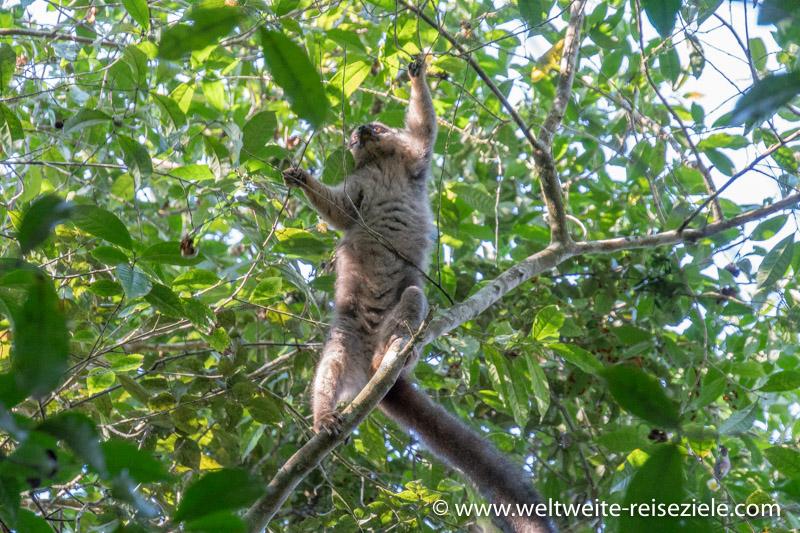 Brauner Lemur beim Fressen von Früchten