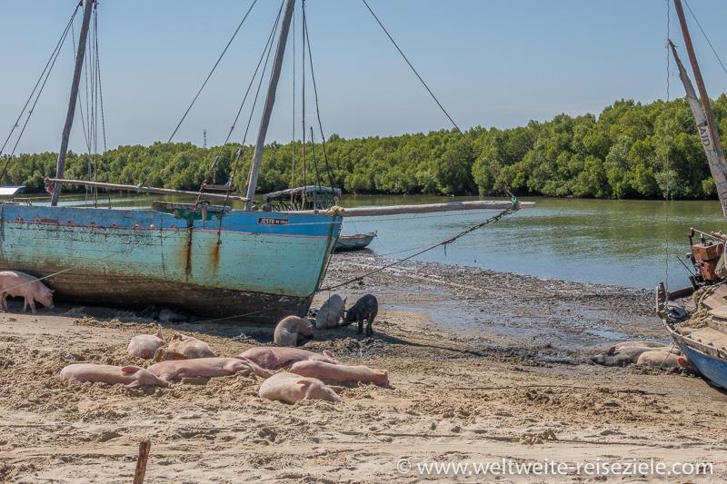 Schweine im Sand am Schiffsanleger von Morondava