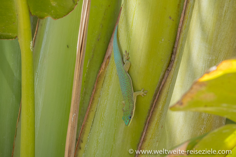 Grüner Madagaskar-Taggecko (Phelsuma madagascariensis) auf Bananenstaude, Hotel Sun Beach, Morondava