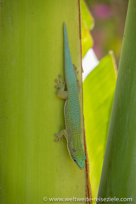 Grüner Madagaskar-Taggecko (Phelsuma madagascariensis), Morondava