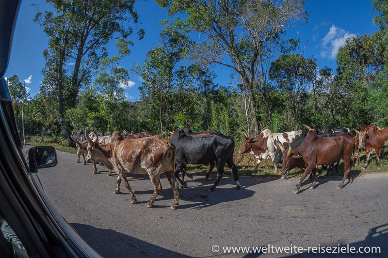 Zebu Herde am Strassenrand vor Ranomafana